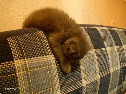 Давайте знакомиться. Я шотландский вислоухий кот. Зовут меня Баскервиль – это для солидности. Дома, просто Бася. Мне всего 3 года.  фото 6
