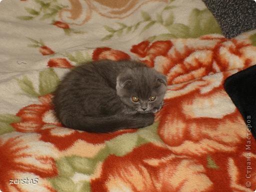 Давайте знакомиться. Я шотландский вислоухий кот. Зовут меня Баскервиль – это для солидности. Дома, просто Бася. Мне всего 3 года.  фото 7