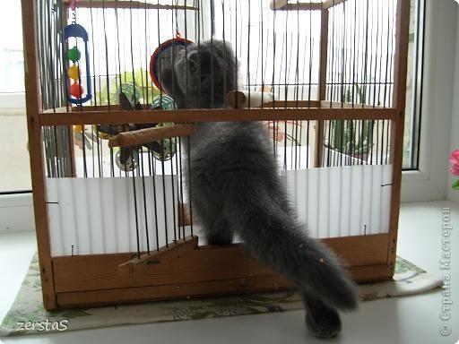 Давайте знакомиться. Я шотландский вислоухий кот. Зовут меня Баскервиль – это для солидности. Дома, просто Бася. Мне всего 3 года.  фото 9