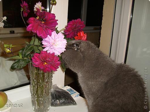 Давайте знакомиться. Я шотландский вислоухий кот. Зовут меня Баскервиль – это для солидности. Дома, просто Бася. Мне всего 3 года.  фото 10