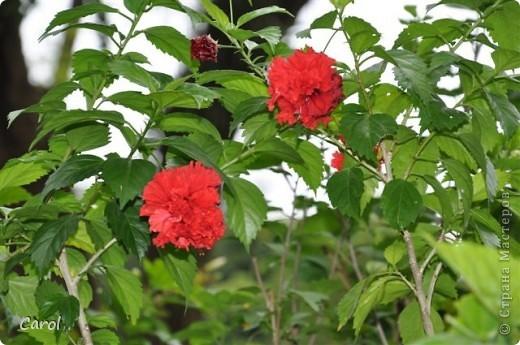 Гибискус - национальный цветок Малайзии фото 11