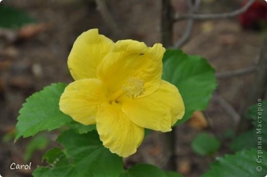 Гибискус - национальный цветок Малайзии фото 9