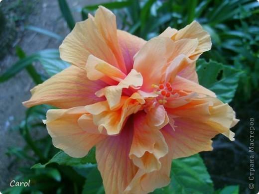 Гибискус - национальный цветок Малайзии фото 1