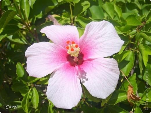 Гибискус - национальный цветок Малайзии фото 2