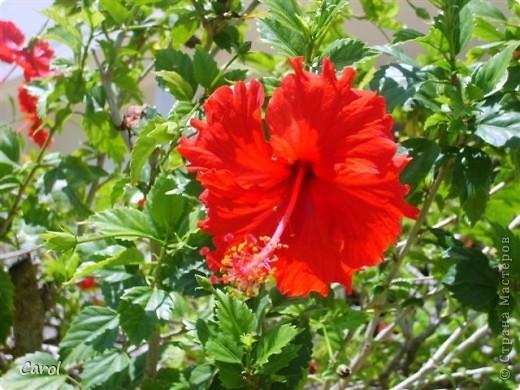 Гибискус - национальный цветок Малайзии фото 3