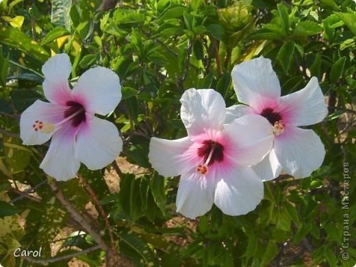 Гибискус - национальный цветок Малайзии фото 5