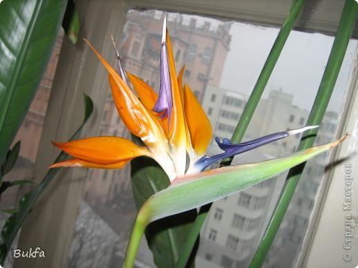 Здравствуйте, дорогие мастера и мастерицы! Давно хотела показать вам еще один цветок на подоконнике ( первый можно посмотреть по адресу http://stranamasterov.ru/node/154451). Да так много фотографий, сделанных во время его неоднократного цветения, что трудно было выбрать лучшие.   Его вырастил муж на работе. Теперь муж уже не работает, а цветок оставил на работе женщинам с условием ухаживать, поливать, холить и лелеять.  ------------ Но обо всем по порядку. Сначала покажу вам, в какой «оранжерее» и на каком «цветущем» подоконнике выросло это чудо.    фото 11