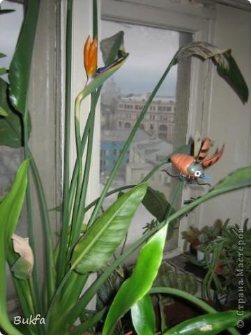 Здравствуйте, дорогие мастера и мастерицы! Давно хотела показать вам еще один цветок на подоконнике ( первый можно посмотреть по адресу http://stranamasterov.ru/node/154451). Да так много фотографий, сделанных во время его неоднократного цветения, что трудно было выбрать лучшие.   Его вырастил муж на работе. Теперь муж уже не работает, а цветок оставил на работе женщинам с условием ухаживать, поливать, холить и лелеять.  ------------ Но обо всем по порядку. Сначала покажу вам, в какой «оранжерее» и на каком «цветущем» подоконнике выросло это чудо.    фото 3