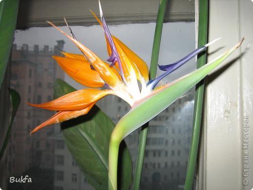 Здравствуйте, дорогие мастера и мастерицы! Давно хотела показать вам еще один цветок на подоконнике ( первый можно посмотреть по адресу http://stranamasterov.ru/node/154451). Да так много фотографий, сделанных во время его неоднократного цветения, что трудно было выбрать лучшие.   Его вырастил муж на работе. Теперь муж уже не работает, а цветок оставил на работе женщинам с условием ухаживать, поливать, холить и лелеять.  ------------ Но обо всем по порядку. Сначала покажу вам, в какой «оранжерее» и на каком «цветущем» подоконнике выросло это чудо.    фото 4