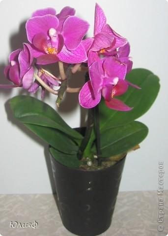 Здравствуйте. Позвольте Вам представить моих любимцев - орхидеи фаленопсис. Я очень люблю цветы и летом фавориты - пионы и розы, а вот зимой меня неустанно радуют мои орхидеи. Цветут они с небольшим перерывом около 9 месяцев в году, и что радует - цветут зимой.  По неприхотливости: в это сложное лето у меня вымерла вся моя небольшая коллекция фиалок... Из орхидей не пострадал никто.  Итак, представляю: №1. Мини- фаленопсис. Крошка высотой всего сантиметров 12, но пушистый и просто бархатный. К сожалению, фотографировать этот эффект я пока не научилась... фото 1