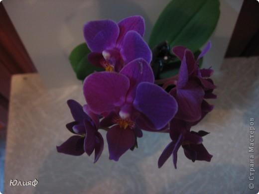 Здравствуйте. Позвольте Вам представить моих любимцев - орхидеи фаленопсис. Я очень люблю цветы и летом фавориты - пионы и розы, а вот зимой меня неустанно радуют мои орхидеи. Цветут они с небольшим перерывом около 9 месяцев в году, и что радует - цветут зимой.  По неприхотливости: в это сложное лето у меня вымерла вся моя небольшая коллекция фиалок... Из орхидей не пострадал никто.  Итак, представляю: №1. Мини- фаленопсис. Крошка высотой всего сантиметров 12, но пушистый и просто бархатный. К сожалению, фотографировать этот эффект я пока не научилась... фото 2