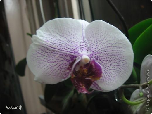 Здравствуйте. Позвольте Вам представить моих любимцев - орхидеи фаленопсис. Я очень люблю цветы и летом фавориты - пионы и розы, а вот зимой меня неустанно радуют мои орхидеи. Цветут они с небольшим перерывом около 9 месяцев в году, и что радует - цветут зимой.  По неприхотливости: в это сложное лето у меня вымерла вся моя небольшая коллекция фиалок... Из орхидей не пострадал никто.  Итак, представляю: №1. Мини- фаленопсис. Крошка высотой всего сантиметров 12, но пушистый и просто бархатный. К сожалению, фотографировать этот эффект я пока не научилась... фото 3