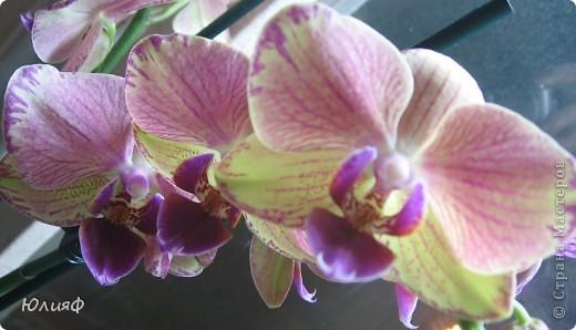 Здравствуйте. Позвольте Вам представить моих любимцев - орхидеи фаленопсис. Я очень люблю цветы и летом фавориты - пионы и розы, а вот зимой меня неустанно радуют мои орхидеи. Цветут они с небольшим перерывом около 9 месяцев в году, и что радует - цветут зимой.  По неприхотливости: в это сложное лето у меня вымерла вся моя небольшая коллекция фиалок... Из орхидей не пострадал никто.  Итак, представляю: №1. Мини- фаленопсис. Крошка высотой всего сантиметров 12, но пушистый и просто бархатный. К сожалению, фотографировать этот эффект я пока не научилась... фото 6