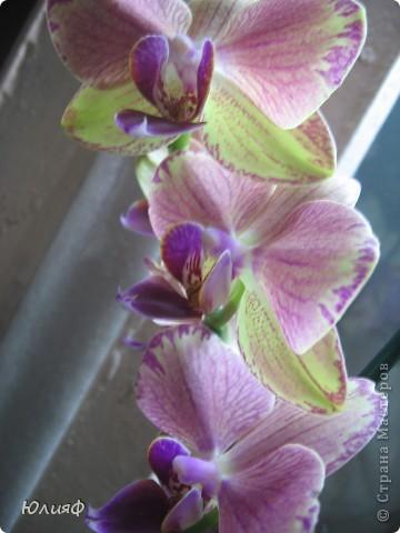Здравствуйте. Позвольте Вам представить моих любимцев - орхидеи фаленопсис. Я очень люблю цветы и летом фавориты - пионы и розы, а вот зимой меня неустанно радуют мои орхидеи. Цветут они с небольшим перерывом около 9 месяцев в году, и что радует - цветут зимой.  По неприхотливости: в это сложное лето у меня вымерла вся моя небольшая коллекция фиалок... Из орхидей не пострадал никто.  Итак, представляю: №1. Мини- фаленопсис. Крошка высотой всего сантиметров 12, но пушистый и просто бархатный. К сожалению, фотографировать этот эффект я пока не научилась... фото 7