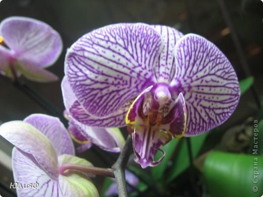 Здравствуйте. Позвольте Вам представить моих любимцев - орхидеи фаленопсис. Я очень люблю цветы и летом фавориты - пионы и розы, а вот зимой меня неустанно радуют мои орхидеи. Цветут они с небольшим перерывом около 9 месяцев в году, и что радует - цветут зимой.  По неприхотливости: в это сложное лето у меня вымерла вся моя небольшая коллекция фиалок... Из орхидей не пострадал никто.  Итак, представляю: №1. Мини- фаленопсис. Крошка высотой всего сантиметров 12, но пушистый и просто бархатный. К сожалению, фотографировать этот эффект я пока не научилась... фото 4