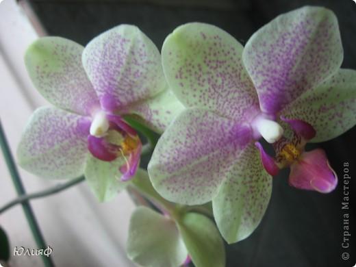 Здравствуйте. Позвольте Вам представить моих любимцев - орхидеи фаленопсис. Я очень люблю цветы и летом фавориты - пионы и розы, а вот зимой меня неустанно радуют мои орхидеи. Цветут они с небольшим перерывом около 9 месяцев в году, и что радует - цветут зимой.  По неприхотливости: в это сложное лето у меня вымерла вся моя небольшая коллекция фиалок... Из орхидей не пострадал никто.  Итак, представляю: №1. Мини- фаленопсис. Крошка высотой всего сантиметров 12, но пушистый и просто бархатный. К сожалению, фотографировать этот эффект я пока не научилась... фото 10