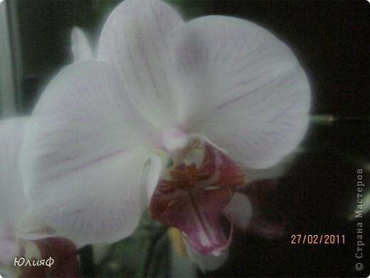 Здравствуйте. Позвольте Вам представить моих любимцев - орхидеи фаленопсис. Я очень люблю цветы и летом фавориты - пионы и розы, а вот зимой меня неустанно радуют мои орхидеи. Цветут они с небольшим перерывом около 9 месяцев в году, и что радует - цветут зимой.  По неприхотливости: в это сложное лето у меня вымерла вся моя небольшая коллекция фиалок... Из орхидей не пострадал никто.  Итак, представляю: №1. Мини- фаленопсис. Крошка высотой всего сантиметров 12, но пушистый и просто бархатный. К сожалению, фотографировать этот эффект я пока не научилась... фото 11