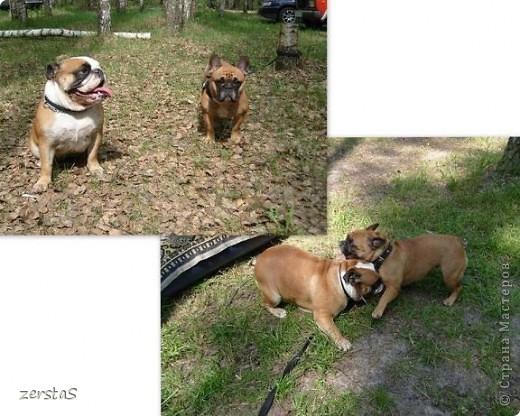 Я Тори, английский бульдог. Перед вами самая грозная,  самая добрая,  самая страшная, самая красивая, самая умная собака.  фото 3