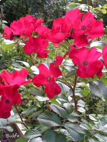 Дорогие мои женщины! Хочу сегодня всех поздравить с нашим праздником! Счастья Вам, хорошие мои, рукодельницы, талантищи и просто красавицы!  Спасибо всем за поздравления! --------------- 8 Марта самый популярный подарок - цветы. Вот и я хочу подарить вам цветы со своего дачного участка. Почти все из них вы знаете, поэтому писать много сегодня не буду. Хочу только сказать, что мои самые любимые цветы полевые, какие-нибудь сорные, а еще подсолнухи.  А на даче у нас только многолетнки. которые может и не очень красивы, но зато неприхотливы и ужасно милы! --------------- Ну все. Начала с Золотого шара, потому что именно он встречает нас у калитки. фото 7