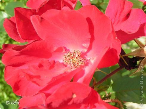 Дорогие мои женщины! Хочу сегодня всех поздравить с нашим праздником! Счастья Вам, хорошие мои, рукодельницы, талантищи и просто красавицы!  Спасибо всем за поздравления! --------------- 8 Марта самый популярный подарок - цветы. Вот и я хочу подарить вам цветы со своего дачного участка. Почти все из них вы знаете, поэтому писать много сегодня не буду. Хочу только сказать, что мои самые любимые цветы полевые, какие-нибудь сорные, а еще подсолнухи.  А на даче у нас только многолетнки. которые может и не очень красивы, но зато неприхотливы и ужасно милы! --------------- Ну все. Начала с Золотого шара, потому что именно он встречает нас у калитки. фото 5