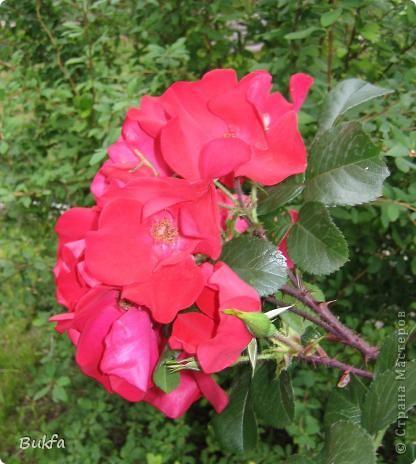 Дорогие мои женщины! Хочу сегодня всех поздравить с нашим праздником! Счастья Вам, хорошие мои, рукодельницы, талантищи и просто красавицы!  Спасибо всем за поздравления! --------------- 8 Марта самый популярный подарок - цветы. Вот и я хочу подарить вам цветы со своего дачного участка. Почти все из них вы знаете, поэтому писать много сегодня не буду. Хочу только сказать, что мои самые любимые цветы полевые, какие-нибудь сорные, а еще подсолнухи.  А на даче у нас только многолетнки. которые может и не очень красивы, но зато неприхотливы и ужасно милы! --------------- Ну все. Начала с Золотого шара, потому что именно он встречает нас у калитки. фото 6