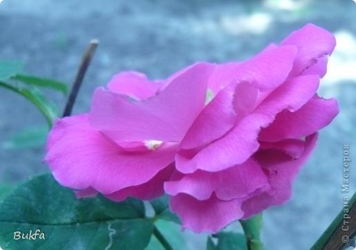 Дорогие мои женщины! Хочу сегодня всех поздравить с нашим праздником! Счастья Вам, хорошие мои, рукодельницы, талантищи и просто красавицы!  Спасибо всем за поздравления! --------------- 8 Марта самый популярный подарок - цветы. Вот и я хочу подарить вам цветы со своего дачного участка. Почти все из них вы знаете, поэтому писать много сегодня не буду. Хочу только сказать, что мои самые любимые цветы полевые, какие-нибудь сорные, а еще подсолнухи.  А на даче у нас только многолетнки. которые может и не очень красивы, но зато неприхотливы и ужасно милы! --------------- Ну все. Начала с Золотого шара, потому что именно он встречает нас у калитки. фото 8