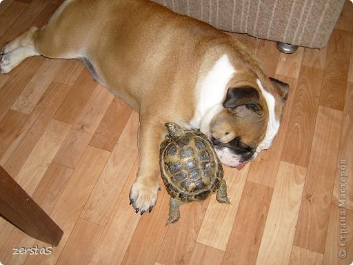 Я Тори, английский бульдог. Перед вами самая грозная,  самая добрая,  самая страшная, самая красивая, самая умная собака.  фото 4