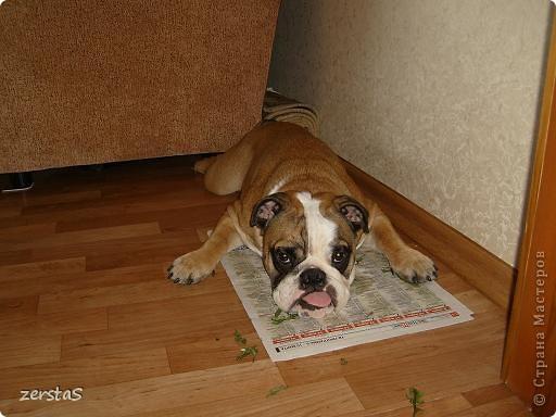 Я Тори, английский бульдог. Перед вами самая грозная,  самая добрая,  самая страшная, самая красивая, самая умная собака.  фото 5
