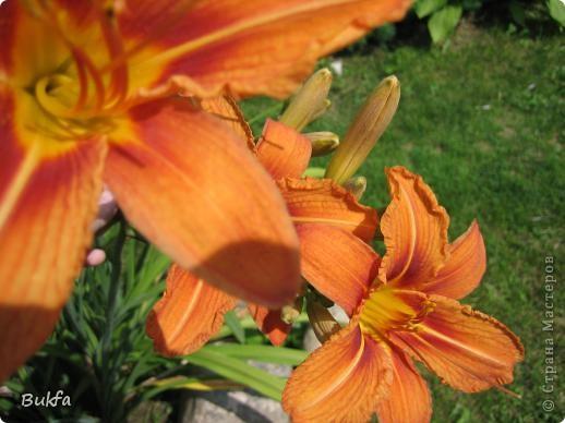 Дорогие мои женщины! Хочу сегодня всех поздравить с нашим праздником! Счастья Вам, хорошие мои, рукодельницы, талантищи и просто красавицы!  Спасибо всем за поздравления! --------------- 8 Марта самый популярный подарок - цветы. Вот и я хочу подарить вам цветы со своего дачного участка. Почти все из них вы знаете, поэтому писать много сегодня не буду. Хочу только сказать, что мои самые любимые цветы полевые, какие-нибудь сорные, а еще подсолнухи.  А на даче у нас только многолетнки. которые может и не очень красивы, но зато неприхотливы и ужасно милы! --------------- Ну все. Начала с Золотого шара, потому что именно он встречает нас у калитки. фото 14