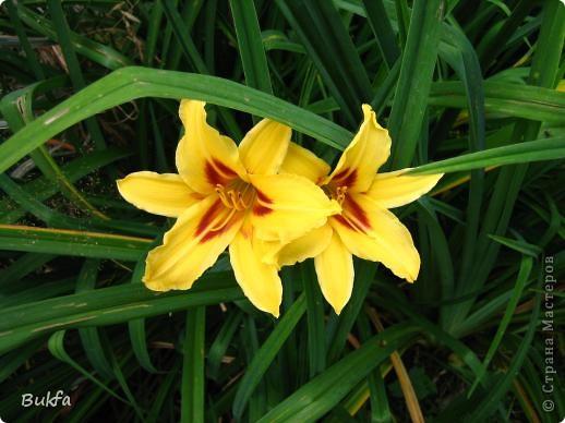 Дорогие мои женщины! Хочу сегодня всех поздравить с нашим праздником! Счастья Вам, хорошие мои, рукодельницы, талантищи и просто красавицы!  Спасибо всем за поздравления! --------------- 8 Марта самый популярный подарок - цветы. Вот и я хочу подарить вам цветы со своего дачного участка. Почти все из них вы знаете, поэтому писать много сегодня не буду. Хочу только сказать, что мои самые любимые цветы полевые, какие-нибудь сорные, а еще подсолнухи.  А на даче у нас только многолетнки. которые может и не очень красивы, но зато неприхотливы и ужасно милы! --------------- Ну все. Начала с Золотого шара, потому что именно он встречает нас у калитки. фото 12