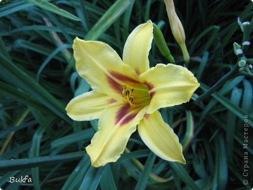 Дорогие мои женщины! Хочу сегодня всех поздравить с нашим праздником! Счастья Вам, хорошие мои, рукодельницы, талантищи и просто красавицы!  Спасибо всем за поздравления! --------------- 8 Марта самый популярный подарок - цветы. Вот и я хочу подарить вам цветы со своего дачного участка. Почти все из них вы знаете, поэтому писать много сегодня не буду. Хочу только сказать, что мои самые любимые цветы полевые, какие-нибудь сорные, а еще подсолнухи.  А на даче у нас только многолетнки. которые может и не очень красивы, но зато неприхотливы и ужасно милы! --------------- Ну все. Начала с Золотого шара, потому что именно он встречает нас у калитки. фото 13
