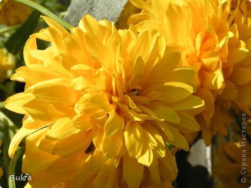 Дорогие мои женщины! Хочу сегодня всех поздравить с нашим праздником! Счастья Вам, хорошие мои, рукодельницы, талантищи и просто красавицы!  Спасибо всем за поздравления! --------------- 8 Марта самый популярный подарок - цветы. Вот и я хочу подарить вам цветы со своего дачного участка. Почти все из них вы знаете, поэтому писать много сегодня не буду. Хочу только сказать, что мои самые любимые цветы полевые, какие-нибудь сорные, а еще подсолнухи.  А на даче у нас только многолетнки. которые может и не очень красивы, но зато неприхотливы и ужасно милы! --------------- Ну все. Начала с Золотого шара, потому что именно он встречает нас у калитки. фото 1