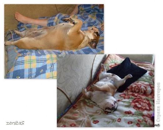 Я Тори, английский бульдог. Перед вами самая грозная,  самая добрая,  самая страшная, самая красивая, самая умная собака.  фото 7