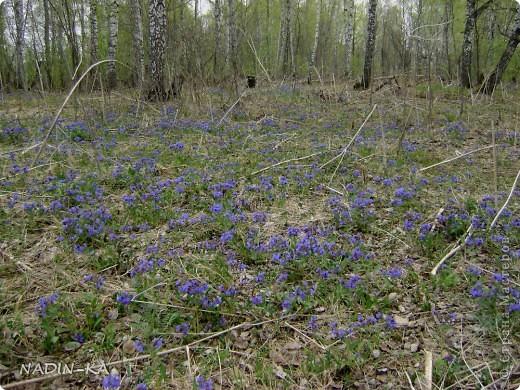 Весна. А какая красота в тайге весной! Я - городской житель,  увидела ее уже будучи взрослой. фото 12
