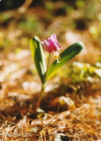 Весна. А какая красота в тайге весной! Я - городской житель,  увидела ее уже будучи взрослой. фото 7