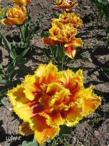 Тюльпаны в Киеве фото 17