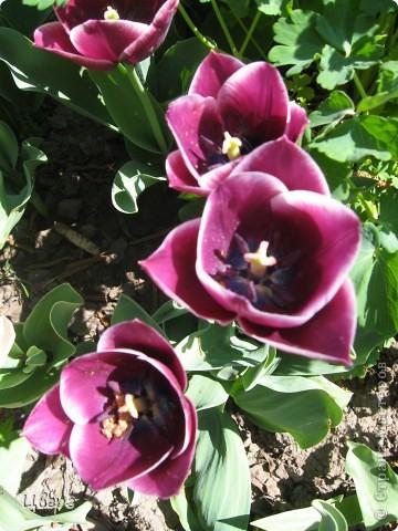 Тюльпаны в Киеве фото 15