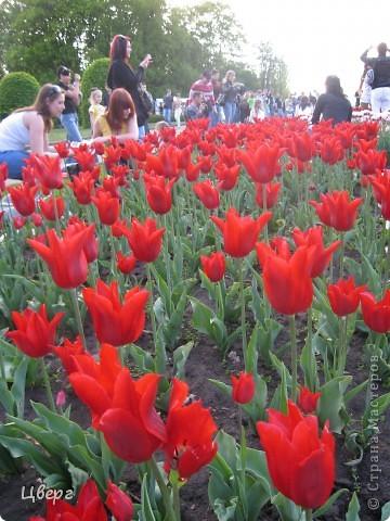 Тюльпаны в Киеве фото 1