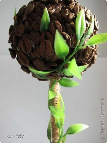Кофейное деревце фото 3