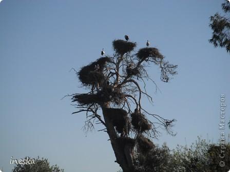 """Это дерево я назвала """"Деревня аистов"""" ,Это старый эвкалипт наполовину засохший но который неизвестно по какой причине полюбили аисты,На этом дереве больше 10 аистовых гнезд которые весной все наполняются парами и детишками а глупой осенью становятся пустыми на целую зиму ,Это дерево возле дороги и каждый раз,проезжая возле него,я  наблюдаю за изменениями в жизни этих птиц а так как этой дорогой езжу часто  то и к аистам привыкла как к родне ,Вот оно мое дерево , фото 2"""
