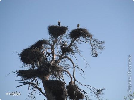 """Это дерево я назвала """"Деревня аистов"""" ,Это старый эвкалипт наполовину засохший но который неизвестно по какой причине полюбили аисты,На этом дереве больше 10 аистовых гнезд которые весной все наполняются парами и детишками а глупой осенью становятся пустыми на целую зиму ,Это дерево возле дороги и каждый раз,проезжая возле него,я  наблюдаю за изменениями в жизни этих птиц а так как этой дорогой езжу часто  то и к аистам привыкла как к родне ,Вот оно мое дерево , фото 3"""