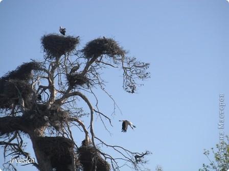 """Это дерево я назвала """"Деревня аистов"""" ,Это старый эвкалипт наполовину засохший но который неизвестно по какой причине полюбили аисты,На этом дереве больше 10 аистовых гнезд которые весной все наполняются парами и детишками а глупой осенью становятся пустыми на целую зиму ,Это дерево возле дороги и каждый раз,проезжая возле него,я  наблюдаю за изменениями в жизни этих птиц а так как этой дорогой езжу часто  то и к аистам привыкла как к родне ,Вот оно мое дерево , фото 4"""