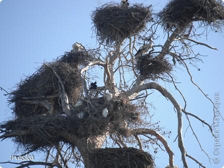 """Это дерево я назвала """"Деревня аистов"""" ,Это старый эвкалипт наполовину засохший но который неизвестно по какой причине полюбили аисты,На этом дереве больше 10 аистовых гнезд которые весной все наполняются парами и детишками а глупой осенью становятся пустыми на целую зиму ,Это дерево возле дороги и каждый раз,проезжая возле него,я  наблюдаю за изменениями в жизни этих птиц а так как этой дорогой езжу часто  то и к аистам привыкла как к родне ,Вот оно мое дерево , фото 5"""