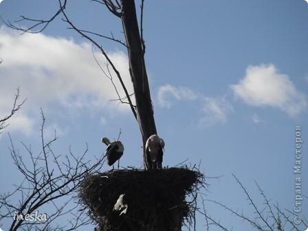 """Это дерево я назвала """"Деревня аистов"""" ,Это старый эвкалипт наполовину засохший но который неизвестно по какой причине полюбили аисты,На этом дереве больше 10 аистовых гнезд которые весной все наполняются парами и детишками а глупой осенью становятся пустыми на целую зиму ,Это дерево возле дороги и каждый раз,проезжая возле него,я  наблюдаю за изменениями в жизни этих птиц а так как этой дорогой езжу часто  то и к аистам привыкла как к родне ,Вот оно мое дерево , фото 8"""