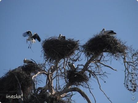 """Это дерево я назвала """"Деревня аистов"""" ,Это старый эвкалипт наполовину засохший но который неизвестно по какой причине полюбили аисты,На этом дереве больше 10 аистовых гнезд которые весной все наполняются парами и детишками а глупой осенью становятся пустыми на целую зиму ,Это дерево возле дороги и каждый раз,проезжая возле него,я  наблюдаю за изменениями в жизни этих птиц а так как этой дорогой езжу часто  то и к аистам привыкла как к родне ,Вот оно мое дерево , фото 9"""