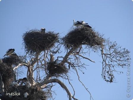 """Это дерево я назвала """"Деревня аистов"""" ,Это старый эвкалипт наполовину засохший но который неизвестно по какой причине полюбили аисты,На этом дереве больше 10 аистовых гнезд которые весной все наполняются парами и детишками а глупой осенью становятся пустыми на целую зиму ,Это дерево возле дороги и каждый раз,проезжая возле него,я  наблюдаю за изменениями в жизни этих птиц а так как этой дорогой езжу часто  то и к аистам привыкла как к родне ,Вот оно мое дерево , фото 10"""