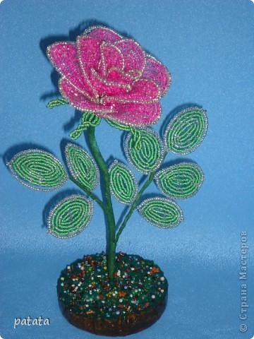 Роза розовая фото 1