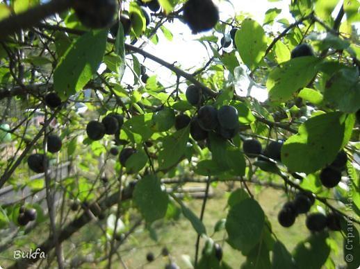 Доброе время суток! Опять я пристаю к вам со своими картинками. Но уж очень хочется порадовать вас летними ягодками и фруктами да загадочками про них. Не спешите крутить колесико: сначала загадка – потом картинка. ---------------- Эта фотка просто для красоты. А загадка первая про то место, где сделаны ( в основном) эти фотографии. ------------- Неразлучный круг подруг Тянет к солнцу сотни рук. А в руках душистый груз, Разных бус. На разный вкус.    фото 3