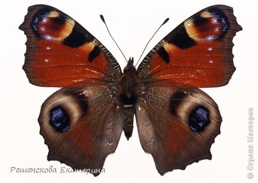 """Вот  такую бабочку я слепила из соленого теста и расписала гуашью. Только пришлось бабочку делать """"гигантских"""" размеров, чтобы более точно  повторить рисунок её крыльев. фото 4"""