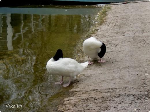 Приглашаю вас посетить один из наших Ростовских парков - это парк Революции. В парке,  в вольерах, живут птицы- это  черные, белые и  черноголовые лебеди , теплолюбивые  фламинго, белые и цветные  павлины ,  венценосные журавли.Приглашаю пройтись  со мной по парку и посмотреть этих красавцев! Жаль, что не могу показать белых павлинов, съемки происходили до того, как их привезли, но обещаю, как только - так сразу!!!    фото 2